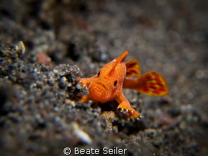 Super macro, because this teeny tiny frog fish  was only ... by Beate Seiler
