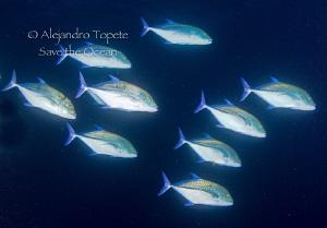 Blue Jacks, Galapagos Ecuador by Alejandro Topete