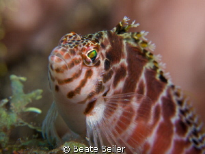 Hawkfish close up by Beate Seiler