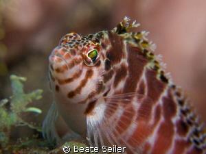 Hawkfish close up by Beate Seiler