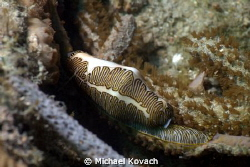 Fingerprint Cyphoma on the Big Coral Knoll off the beach ... by Michael Kovach
