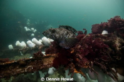 Lingcod waiting for a meal. by Dennis Howie