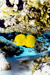 Yellow Buterflys, Sharm il Sheik Egypt by Alejandro Topete