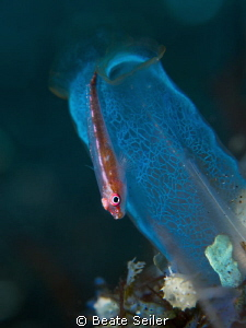 small blennie on tunicate by Beate Seiler