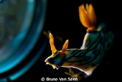 Nudibranch backlighted with torch by Bruno Van Saen