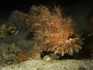 Striped Anglerfish, Chowder Bay by Doug Anderson