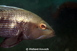 Black Sea Bass, one of the half dozen or so that now inha... by Michael Kovach