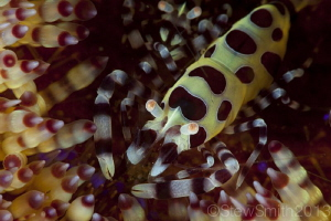 Colman Shrimp on Fire Urchin  5D mkii 100mm Canon Subse... by Stew Smith