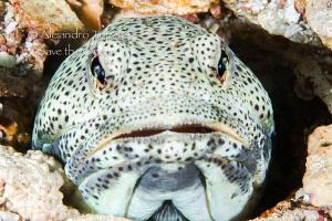 Amazing jawfish, La Paz Mexico by Alejandro Topete