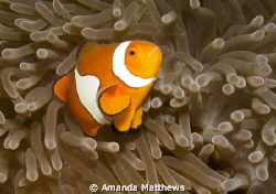 Clowning Around - Amphiprion ocellaris by Amanda Matthews