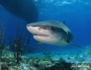 Smiles were big from everyone including the sharks at Tig... by Steven Anderson