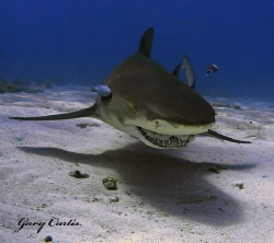 Lemon Shark Smile.... by Gary Curtis