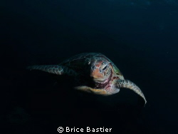 Curious green turtle checking me out   by Brice Bastier
