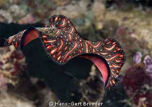 Persian Carpet Flatworm 