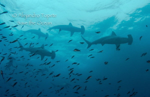hammerhead group on the surface, Galapagos Ecuador by Alejandro Topete