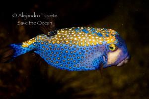 Litle box fish, Isla Coco Costa Rica by Alejandro Topete