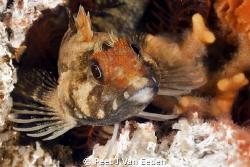 Klipfish and its home by Peet J Van Eeden