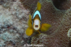 Brown clownfish showing a bit of attitude. by Scott Hodgson