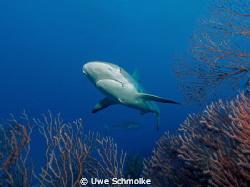 Reef shark by Uwe Schmolke