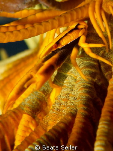 Squat lobster inside crinoid, taken with Canon G12 and UC... by Beate Seiler
