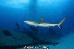 Shark and divers by Alexis Golding