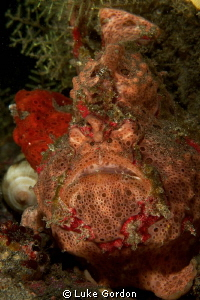 Padang bai, two frogfish! Little & large.....'You have to... by Luke Gordon