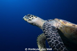 Turtle close up taken at Hithadhoo West, dive site of Oce... by Marteyne Van Well