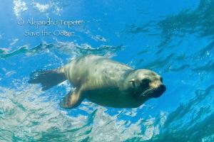 Sea Lion curiosity, La Paz Mexico by Alejandro Topete