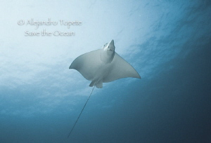 Eagle Ray encounter, Cozumel Mexico by Alejandro Topete