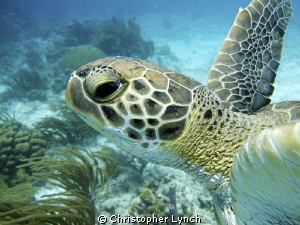green turtle by Christopher Lynch