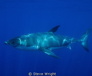 4m Great White, shot taken at the Neptune Islands South A... by Steve Wright