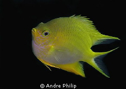 Golden Damselfish by Andre Philip