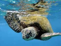 Love those turtles - The Hawaiian Honu. by Glenn Poulain