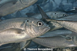"""in the jackfish swarm  NIKON D7000 in a Seacam """"Prelude... by Thomas Bannenberg"""