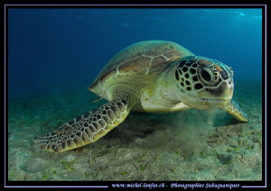 Green Turtle eating... :O)... by Michel Lonfat