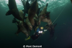 Hanging with friends On a safety stop just off shore som... by Marc Damant