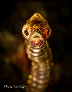 Pipefish by Doris Vierkötter