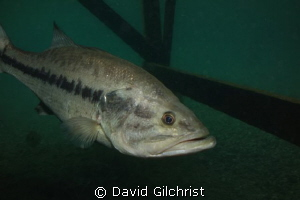 Bass under Dock, Lake Rawlings, Virginia by David Gilchrist