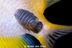 Isopod by Bruno Van Saen