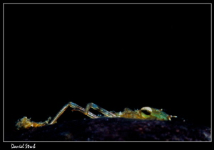 Larvae of a damselfly - playing hide and seek with me :-D by Daniel Strub