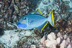 Male Gilded Triggerfish at Molokini, Hawaii by Ralph Turre