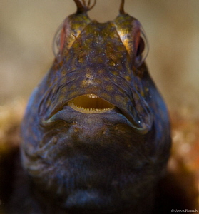 No cavities there!  Seaweed Blenny         Family:  blen... by John Roach