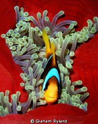 Red Sea Clownfish taken on a night dive by Graham Ryland