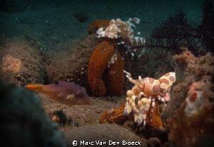harlekijn schrimp by Marc Van Den Broeck