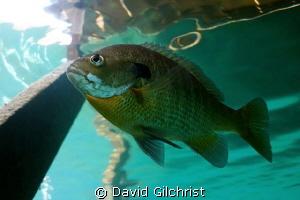 Sunfish, Lake Rawlings,VA by David Gilchrist