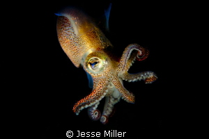 Stubby Squid by Jesse Miller