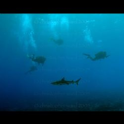 Bora Bora, French Polynesia. Black tip sharks join the di... by Christopher Ward