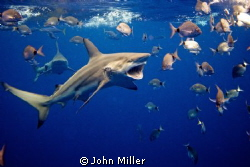 On a Shark dive with about twenty Black Tips around when ... by John Miller
