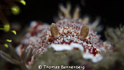 Nudibranchia Portrait