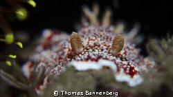 """Nudibranchia Portrait  NIKON D7000 in a Seacam """"Prelude... by Thomas Bannenberg"""